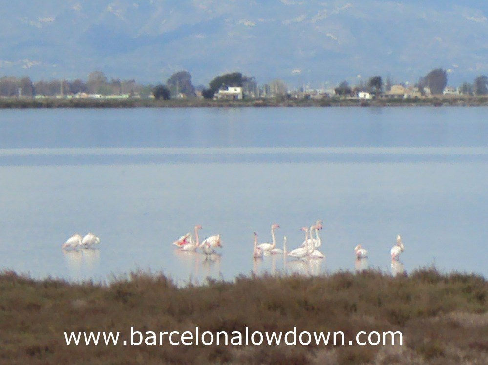 "Flamingos on the ""Tancada"" Lagoon, Delta de Ebro Spain"