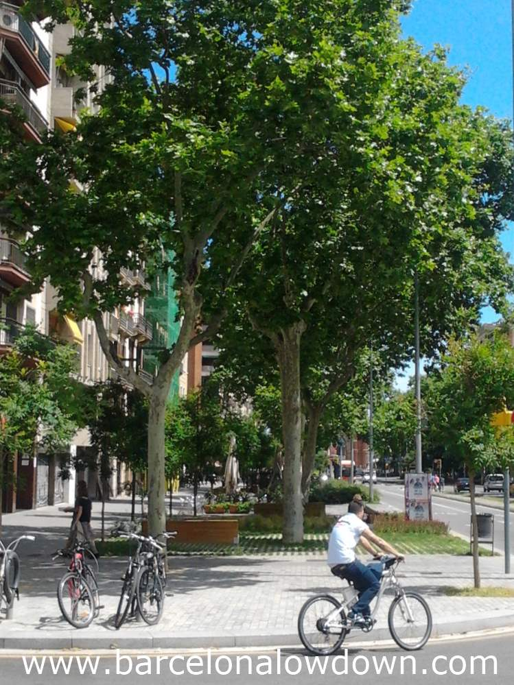A row of hay fever triggering Loandon Plane trees in Barcelona